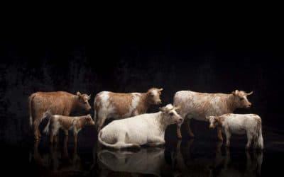 Handmade Wax Cows