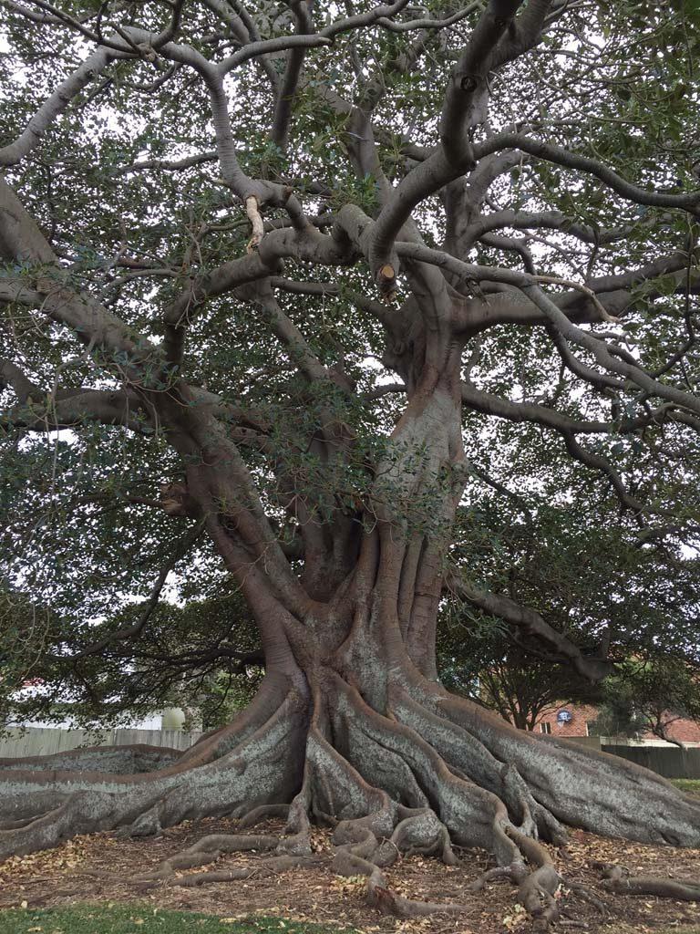 Moreton Bay Fig Tree Shellharbour Local History